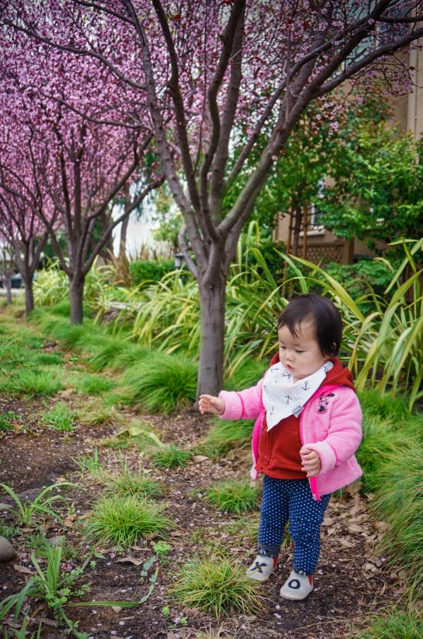 cherry_blossoms-3